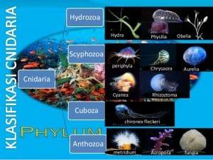 klasifikasi cnidaria