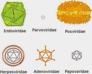 klasifikasi virus