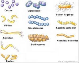 macam bentuk bakteri