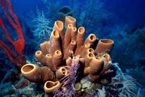 Colorful red finger sponge and brown tube sponges on Belize reef