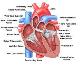 kerja jantung
