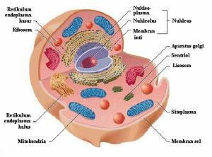 sel eukariorit