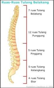 tulang belakang