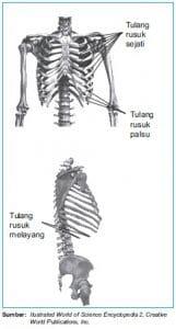 tulang rusuk dada