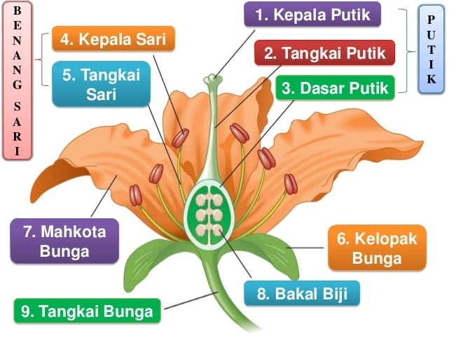 Bagian bagian pada bunga lengkap dengan fungsi dan penjelasannya bagian bagian bunga dan fungsinya ccuart Choice Image