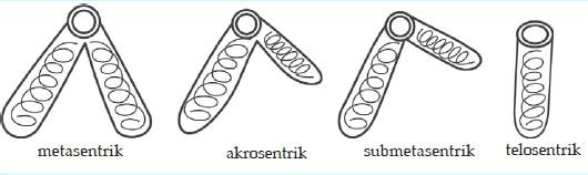 bentuk kromosom berdasarkan letak sentromer