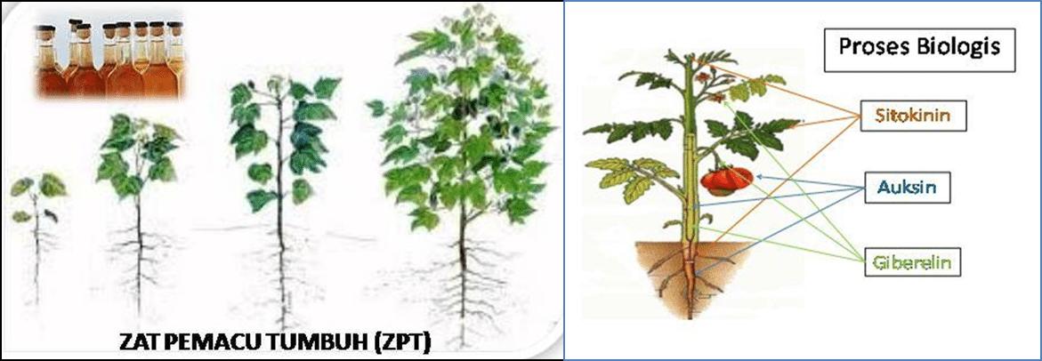 faktor pertumbuhan perkembangan tanaman