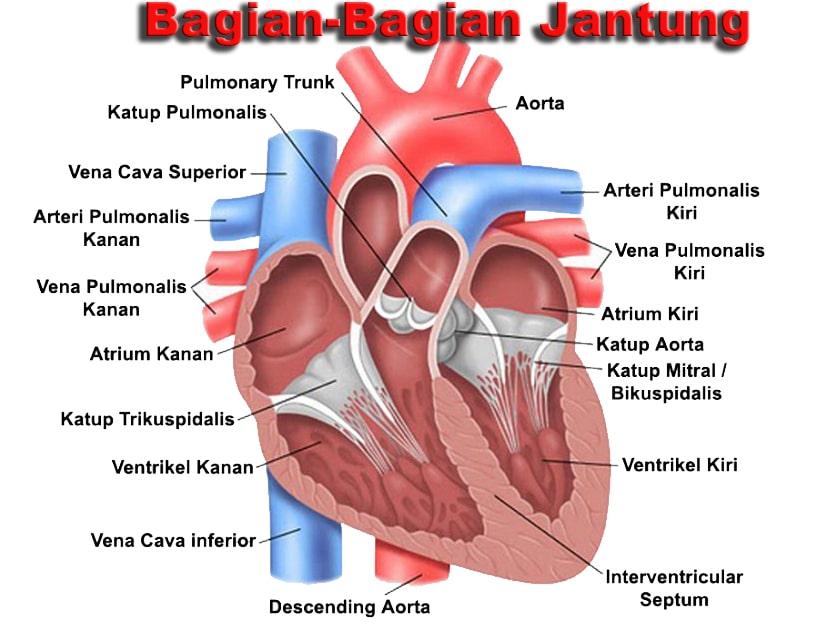 63+ Gambar Organ Hati Dan Bagian Bagiannya Paling Hist