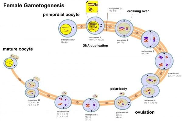 Pengertian proses oogenesis dan hormon yang mempengaruhi oogenesis pengertian proses oogenesis dan hormon yang mempengaruhi oogenesis terlengkap ccuart Image collections