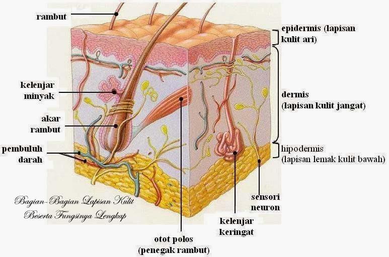 bagian-bagian lapisan kulit