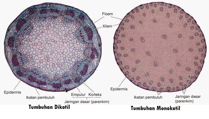 Perbedaan Tumbuhan Monokotil dan Dikotil Beserta ...