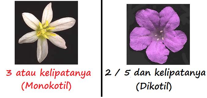 Anggrek Dikotil Atau Monokotil godean.web.id