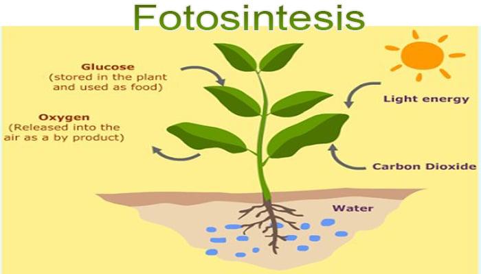 Pengertian Fotosintesis Fungsi Gambar Proses Tahapan Dan Faktor Yang Mempengaruhi Fotosintesis Pelajaran Sekolah Online