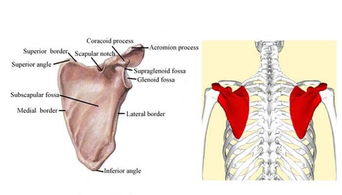 Pengertian Tulang Belikat Letak Bagian Dan Fungsi Tulang Belikat