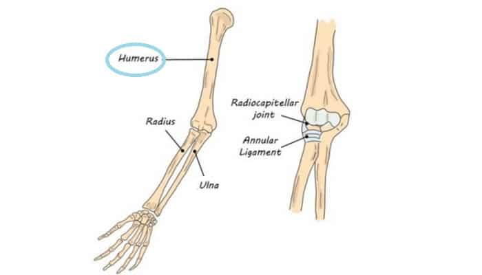 Fungsi Tulang Lengan Atas : Pengertian, Struktur, Letak ...